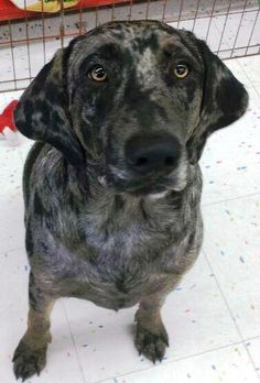 Star Catahoula Leopard Dog Mix • Young • Female • Large PAWS Beaumont, TX