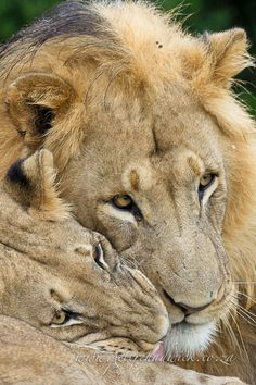 A lioness snuggles up to a male during light rain in the Addo Elephant National Park in South Africa