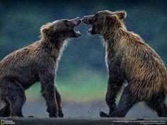 Dois filhotes de urso cinzento se desafiam de maneira brincalhona numa manhã chuvosa no Lake Clark National Park & Preserve. Nós seguimos estes filhotes desde as árvores até a margem do rio. O urso à direita tinha machucado sua pata de alguma maneira, mas isso não estava impedindo que ele desafiasse seu irmão. Os dois eram inseparáveis. É sempre uma experiência incrível e um privilégio se sentir como parte da natureza sem interferir nela (1200mm). — Eric Esterle