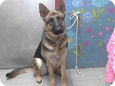 No Longer Listed. Unknown Fate. Lancaster, CA - Female German Shepherd Dog Mix. Meet SUMMER a Dog for Adoption.