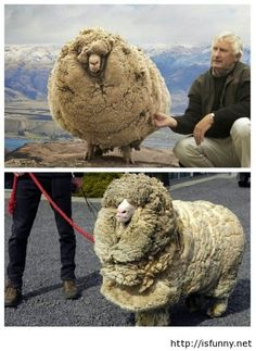Meet Shrek the sheep funny picture