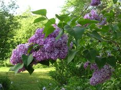Lilac bushes!  I want some of these for my front yard!