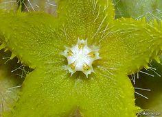 Orbea dummeri flower | Flickr - Photo Sharing!