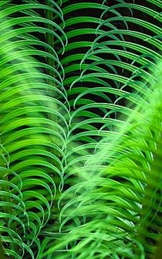 Green Green Green ... Cycad Fern repinned by www.smgdesign.de #smgdesignselect