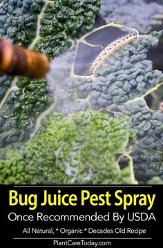 Bug Juice pesticide spray? Growers have had success blending up bugs attacking their crops and spraying them on their crops to repel and kill insect pest. It's been going on since the 1960's [Learn More] Vegetable Garden For Beginners, Gardening For Beginners, Gardening Tips, Slugs In Garden, Garden Pests, Garden Water, Herb Garden, Growing Tomatoes, Growing Vegetables