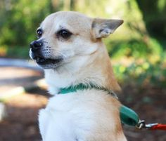 Grizz is a cute little guy who has a big heart. He enjoys spending time with people and going for short walks, especially on sunny days!  Grizz was ADOPTED! from Seattle Humane, March 2016
