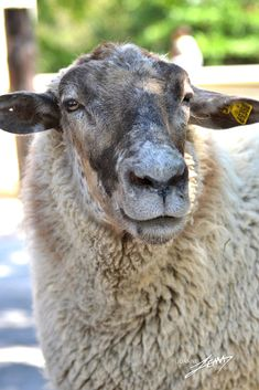 Photo by Joanne Lemay - Photo 13446569 / Sheep Farm, Sheep And Lamb, Reptiles And Amphibians, Mammals, Farm Animals, Cute Animals, Animals With Horns, Sheep Paintings, Baa Baa Black Sheep