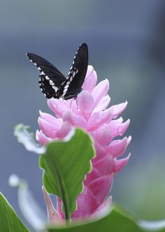 Aruba Butterfly  by Annika L on Flickr.