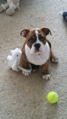 Stella the Australian bulldog puppy with her easter basket