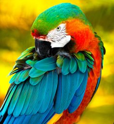Harlequin macaws like this, and Cosmeaux, are a cross between a blue and gold macaw and a green wing macaw. They're hybrids that don't ovcur naturally in the wild but are so beautiful. Blues and greens on top, red and orange underneath, with yellow on the underside of the wings.