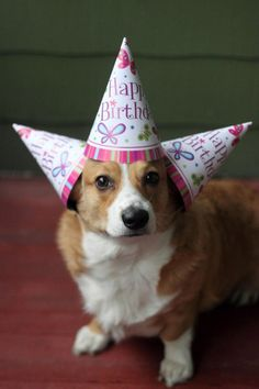 Corgis Are Always Ready To Party