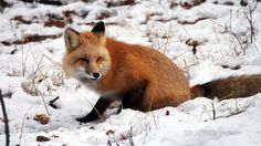 Toby J Robinson | Wildlife Red Fox. Jasper National Park, Canada.  Fox, red, fluffy, fur, cute, snow, wild, canada, soft, coat, winter, whiskers, tail.