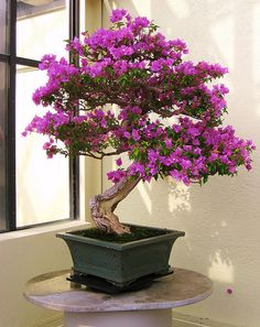 this bonsai is a flowering begonia, I also really love jacaranda bonsai, camellias and other flowering trees