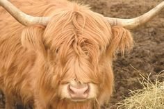 Wendy, a member of our accounting team, raises Scottish Highland cattle. Scaredy Calf, shown  here, is all ready for winter chills and thrills with her full (and luxurious) shaggy coat.