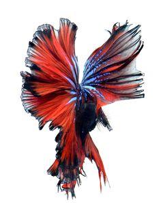 red wings II - betta fish, Siamese fighting fish on white background visarute angkatavanich