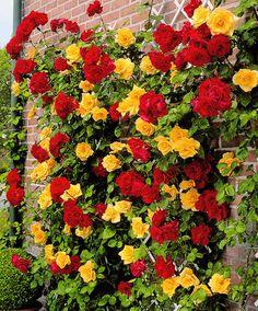 Dual Climbing Rose 'Spanish Flag' http://www.spaldingbulb.co.uk/product/dual-climbing-rose-spanish-flag-/ ❤️