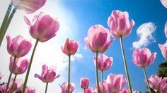 Просмотреть обои тюльпаны, цветы, весна, солнечно, небо, облака 1920x1080