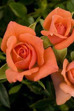 Gemstone Micro Miniature Rose Bush  Fragrant/Hardy  4 Pot