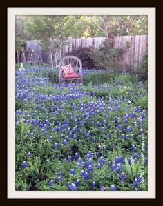 Growing bluebonnets from Pamela Price