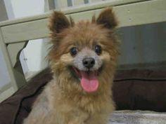 Pomeranian dog for Adoption in Santa Clara, CA. ADN-662429 on PuppyFinder.com Gender: Female. Age: Senior
