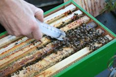 The bees are getting a treatment to protect them for the varroa mite. First peek inside the box.....