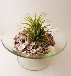 airplant w shells