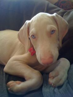 An all-white Weimaraner you say? Yes please!