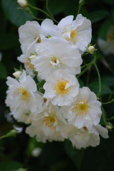 Hybrid Wichurana Rose: Rosa 'Bobbie James' (U.K., 1961)