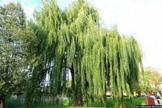 Salix × sepulcralis Simonk. 'Chrysocoma'