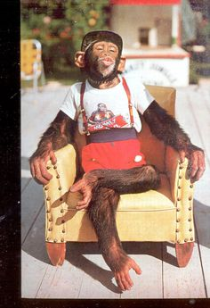 Waiting for a kiss - Chimpanzee at Monkey Jungle, Florida  Postcard- (#  596)