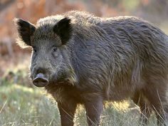 Half of all wild boars in southwest Czech Republic are still radioactive  31 years after Chernobyl