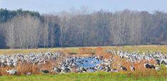 Sandhill Cranes on marsh Jasper-Pulaski Indiana.