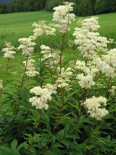 Meadowsweet-grows along the creek. You can make a sweet limonade from the flowers. Bog Garden, Rain Garden, Water Garden, Shade Garden, Garden Plants, Hardy Perennials, Flowers Perennials, Home Landscaping, Garden Borders
