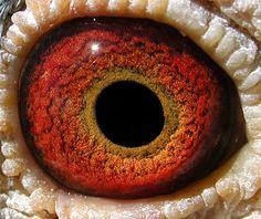 Pigeon Eyes, Reptile Eye, Iris Eye, Animal Anatomy, Look Into My Eyes, Dragon Eye, Human Eye, Eye Photography, Reptiles And Amphibians