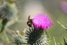 Bumble bee gathering nectar from a thistle flower.