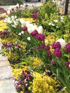 vibrant creeping jenny with purple and whit tulips
