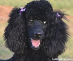 I'm NOT supposed be here. I'm supposed to be at Jack's house, aren't I?  My name is  Charlee and Jack's Grandma set me up to meet Jack. Don't you love my purple ribbons?......................