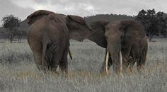 Kilimanjaro Climb, Wildlife Park, Tanzania, Safari, National Parks, Campaign, Elephant, Rain, Tours