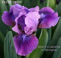 SDB Iris PLUM TWIST Pronounced Sweet Fragrance Stout
