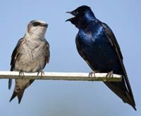 Purple Martins and Why you need them in your yard