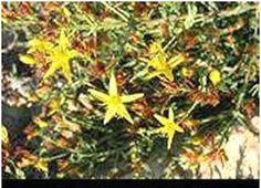 santé et bien-être.: comment utiliser l'herbe de Medine pour tomber enc...