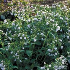 Pulmonaria 'Sissinghurst White'
