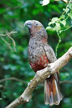 The Kaka Parrot of New Zealand is has dignified elegance. This beautiful bird is threatened by habitat loss, introduced predators, and competition with bees and wasps. Many efforts are being made to preserve the small remaining population of this splendid bird.