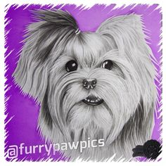 So all the PAWS are spillin the tea on #RHOA & #CelebApprentice 2day! Thinkin about sending in my hand drawn headshot to be cast for next season! @thekenyamoore do I have what it takes to be #gonewiththewindfabulous ??? #furrypawlife www.furrypawpics.com #instaart #petart #art #yorkies
