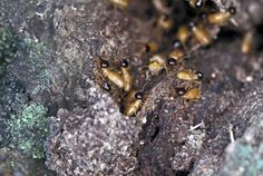 10 Fascinating Facts About Termites: Termite soldiers are blind, but still capable of defending their nest.