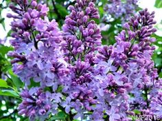 Northern    Southern  Maine Famous Lilac bush. How I wish for one in this yard