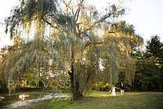 Weeping Willow at Succop Conservancy- willow pictures are a must!