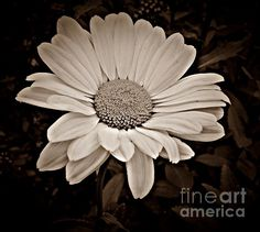 Beautiful daisy sepia tone black and white photograph by Chalet Roome-Rigdon