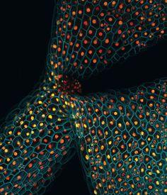 Manipulação genética acende proteínas da planta Arabidopsis thaliana, o rato de laboratório do mundo vegetal.