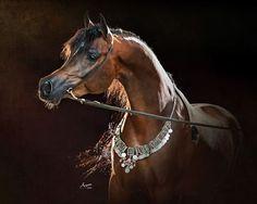 Ibn Raad 2011 Bay Stallion Scapa x LPS Thunderstruck Egyptian Arabian Horses, Beautiful Arabian Horses, Majestic Horse, Pretty Horses, Horse Photos, Horse Pictures, Arabian Stallions, Horse Artwork, Most Beautiful Animals